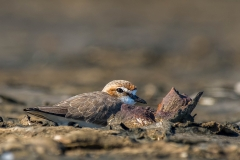 Red-capped Plover (Image ID 33162)