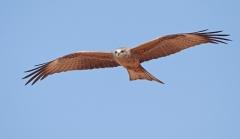 Black Kite (Image ID 33095)