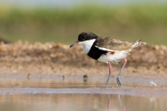 Red-kneed Dotterel (Image ID 33156)