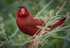 Crimson Finch (Image ID 33169)