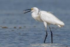 Little Egret (Image ID 33087)