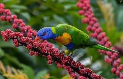 Rainbow Lorikeet (Image ID 33164)
