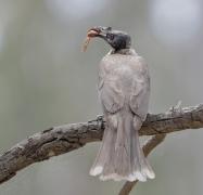Noisy Friarbird (Image ID 33167)