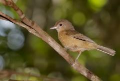 Little Shrike-thrush (Image ID 33617)