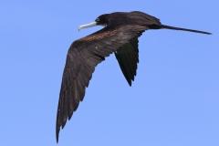 Great Frigatebird (Image ID 33648)