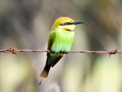 Rainbow Bee-eater (Image ID 33833)