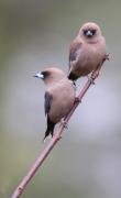 Dusky Woodswallow (Image ID 33583)