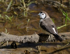 Double-barred Finch (Image ID 33746)