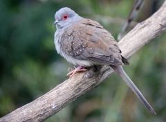 Diamond Dove (Image ID 33788)