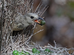 Fawn-breasted Bowerbird (Image ID 33523)