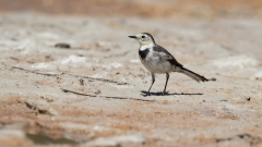 White Wagtail (Image ID 33606)
