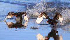 Black Swan (Image ID 33708)