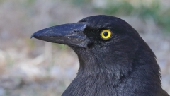 Pied Currawong (Image ID 33698)
