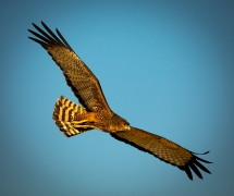 Spotted Harrier (Image ID 33365)