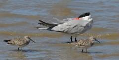 Caspian Tern, Great Knot