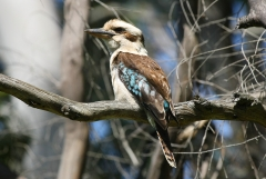 Laughing Kookaburra (Image ID 33609)