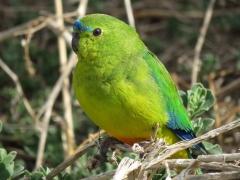 Orange-bellied Parrot (Image ID 33619)