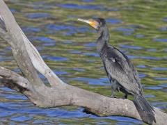 Great Cormorant (Image ID 33684)