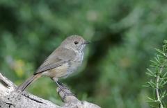 Brown Thornbill (Image ID 33627)