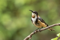 Eastern Spinebill (Image ID 33693)