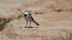 White Wagtail (Image ID 33605)