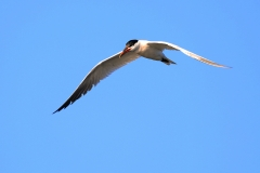 Caspian Tern (Image ID 33709)