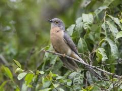 Fan-tailed Cuckoo (Image ID 33704)