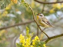 Striated Pardalote (Image ID 33890)