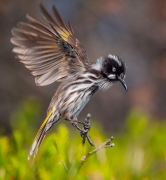 New Holland Honeyeater (Image ID 34294)