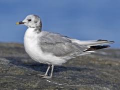 Sabine's Gull (Image ID 34223)