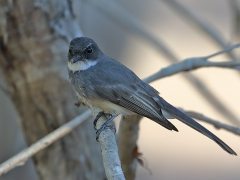 Northern Fantail (Image ID 34132)