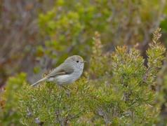 Tasmanian Thornbill (Image ID 34241)