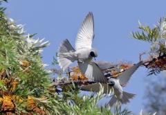 Masked Woodswallow (Image ID 34301)