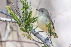 Buff-rumped Thornbill (Image ID 33929)