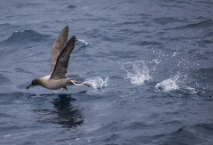 Light-mantled Sooty Albatross (Image ID 33982)