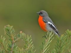 Flame Robin (Image ID 34552)