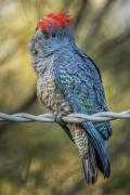 Gang-gang Cockatoo (Image ID 34649)
