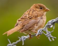 House Sparrow (Image ID 34650)