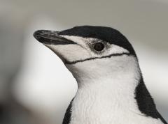 Chinstrap Penguin (Image ID 34554)