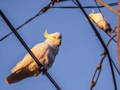 Sulphur-crested Cockatoo (Image ID 34639)