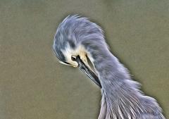 White-faced Heron (Image ID 34664)
