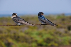 Welcome Swallow (Image ID 34584)