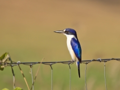 Forest Kingfisher (Image ID 34632)
