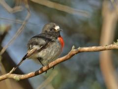 Scarlet Robin (Image ID 34556)
