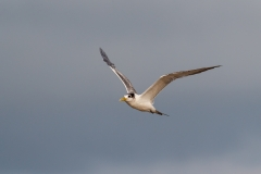 Crested Tern (Image ID 34570)