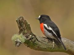 Scarlet Robin (Image ID 34555)