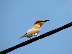 Rainbow Bee-eater (Image ID 34600)