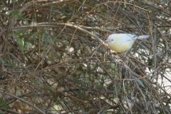 White-browed Scrubwren (Image ID 34403)