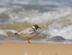 Hooded Plover (Image ID 34571)