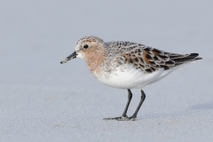 Red-necked Stint (Image ID 34473)